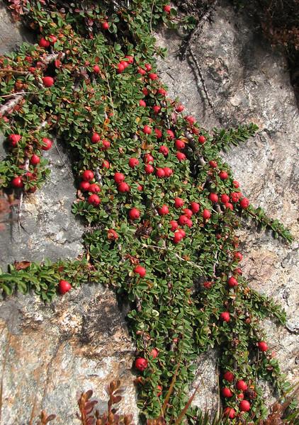 Cotoneaster microphyllus, Bahtang Glacier-Camp 4379m-Pethang Ringmo Camp 4941m