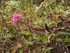 Polygonum cf. macrophyllum, Djaksim Camp 4053m-Bahtang Glacier-Camp 4379m