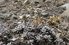 Leontopodium spec., Bahtang Glacier-Camp 4379m-Pethang Ringmo Camp 4941m