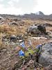 Gentiana ornata, Shao La Basic Camp 4253m - Shao La 4904m-Djaksim Camp 4053m