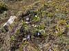 Gentiana spec. Kharta Camp 3710m-Shao La Basic Camp 4662m