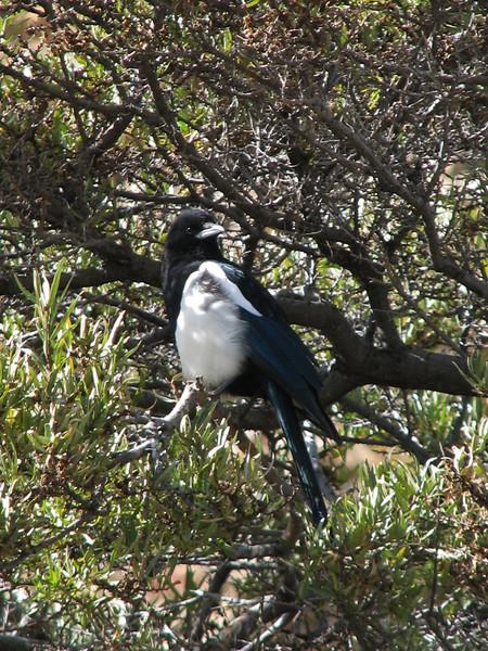 Pica pica, Magpie, (NL: Ekster), near Kharta Camp 3710m