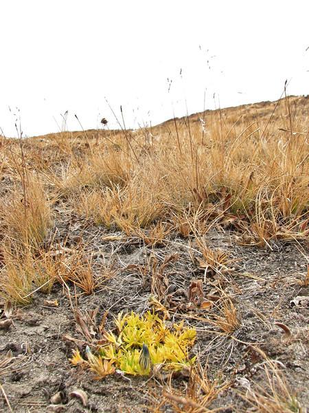 Gentiana ornata, Pethang Ringmo Camp 4941m-Kharta Ridge 5886m v.v.