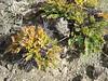 Astragalus spec, Gyangtse 4032m-Latse 4050m, Tibetan plateau,