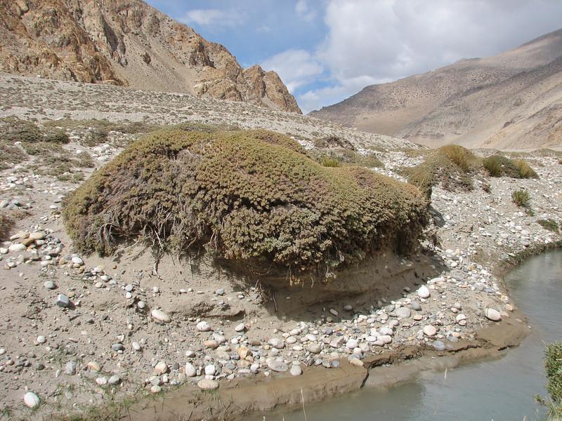 Potentilla fruticosa, syn. Dasiphora fruticosa, shrubby cinquefoil, Latse 4050m-Kharta Camp 3710m