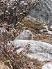 Ochotona himalayana, Himalayan pika, Shao La Basic Camp 4253m - Shao La 4904m-Djaksim Camp 4053m