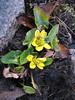 Caltha palustris ssp. himalaica, Shao La Basic Camp 4253m - Shao La 4904m-Djaksim Camp 4053m