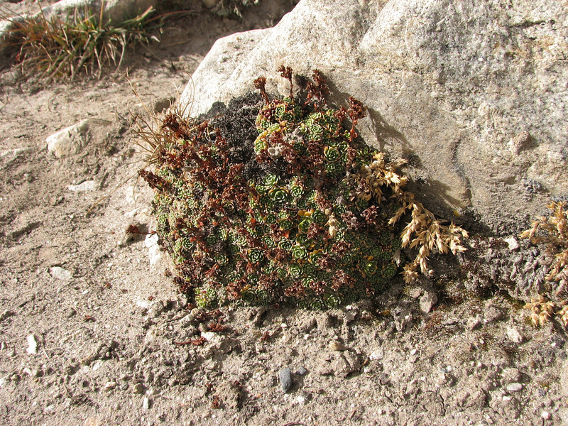 Saxifraga andersonii