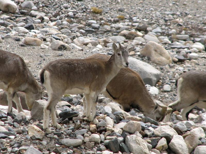 Hemitragus jemlahicus, Himalayan tahr, Everest Base Camp 5156m- Camp 1 5519m