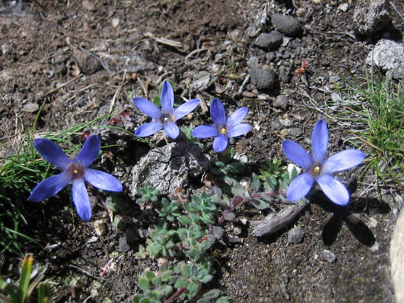 Cyananthus incanus, Kharta Camp 3710m-Shao La Basic Camp 4662m
