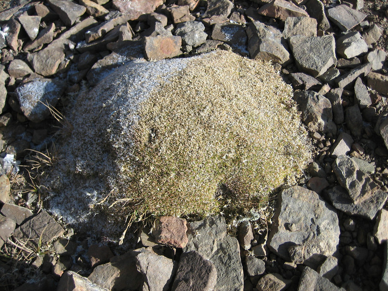 Arenaria edgeworthiana, Latse 4050m-Kharta Camp 3710m, Tibetan plateau,
