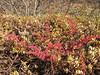 Myricaria spec. Djaksim Camp 4053m-Bahtang Glacier-Camp 4379m