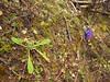 Primula capitata ssp. crispata, Djaksim Camp 4053m-Bahtang Glacier-Camp 4379m