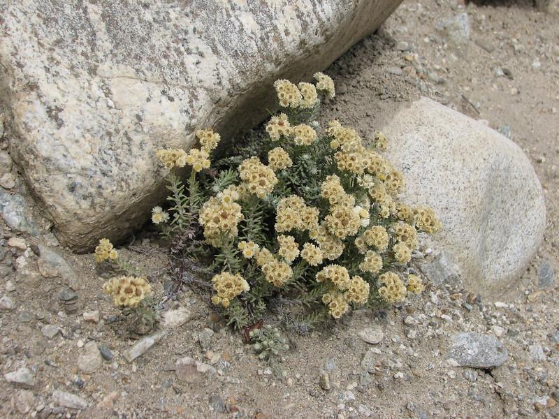 Anaphalis xylorhiza, Latse 4050m-Kharta Camp 3710m