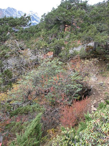 Juniperus indica, Djaksim Camp 4053m-Bahtang Glacier-Camp 4379m