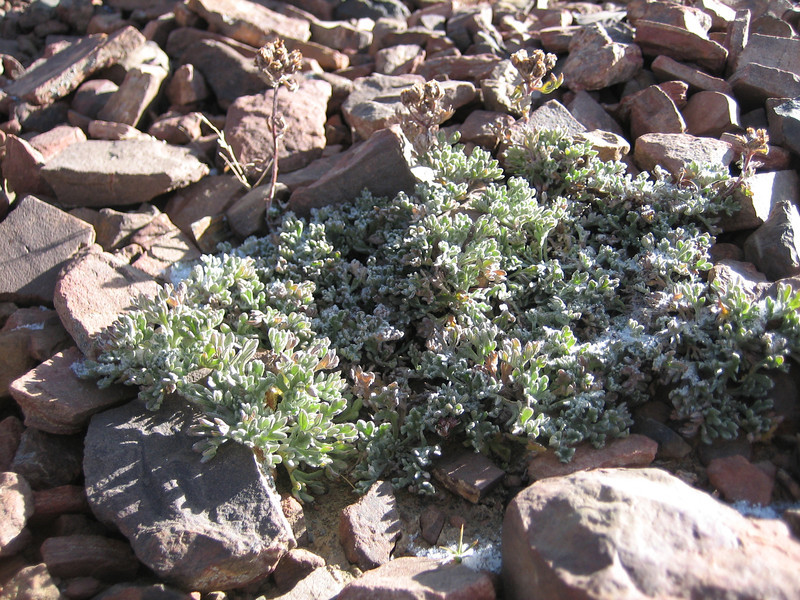 Astragalus monticolus, Latse 4050m-Kharta Camp 3710m