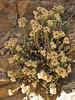 Anaphalis xylorhiza, near Kharta Camp 3710m