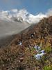 Gentiana ornata, Bahtang Glacier-Camp 4379m-Pethang Ringmo Camp 4941m