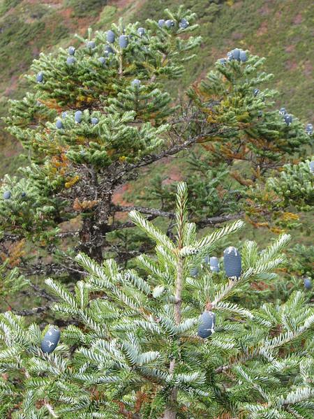 Abies spectabilis, Djaksim Camp 4053m-Bahtang Glacier-Camp 4379m