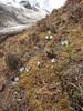 Gentiana ornata and Cassiope fastigiata, Bahtang Glacier-Camp 4379m-Pethang Ringmo Camp 4941m