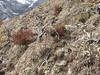 Anaphalis xylorhiza, Djaksim Camp 4053m-Bahtang Glacier-Camp 4379m