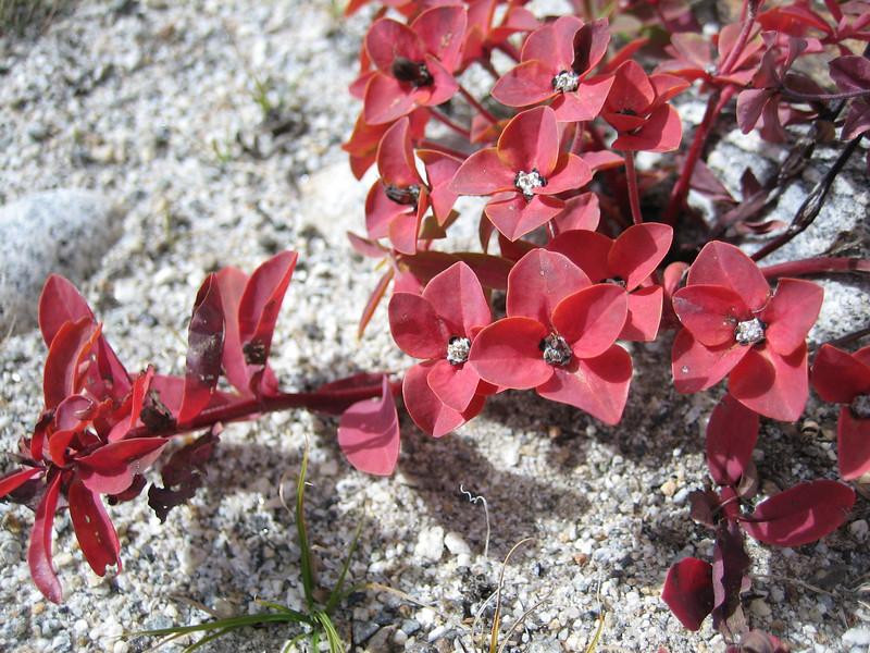 Euphorbia stracheyi, Latse 4050m-Kharta Camp 3710m