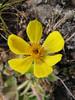 Potentilla fruticosa, Djaksim Camp 4053m-Bahtang Glacier-Camp 4379m