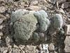 Androsace tapete, Gyangtse 4032m-Latse 4050m, Tibetan plateau,