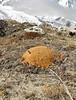 Arenaria polytrichoides, Pethang Ringmo Camp 4941m-Kharta Ridge 5886m v.v.