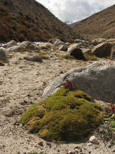 Arenaria edgeworthiana, near Kharta Camp 3710m