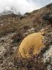 Arenaria polytrichoides, Bahtang Glacier-Camp 4379m-Pethang Ringmo Camp 4941m