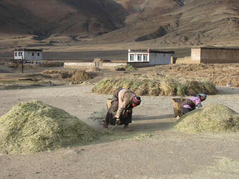 Harvesting, Latse 4050m-Kharta Camp 3710m, Tibetan plateau,
