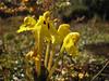Pedicularis longiflora var. tubiformis, River Camp 4941m-Kharta Camp 3710m
