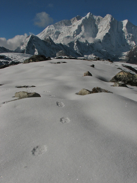 Footprints of Panthera uncia (syn. Uncia uncia), Snow Leopard, Langma La High Camp 5098m-River Camp 4941m