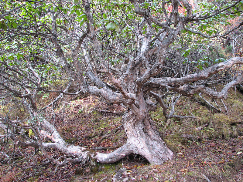 Thrunk of Rhododendron spec. Djaksim Camp 4053m-Bahtang Glacier-Camp 4379m