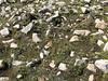 Gentiana ornata, Kharta Camp 3710m-Shao La Basic Camp 4662m