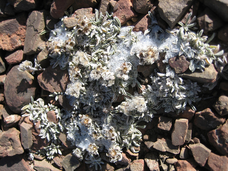 Leontopodium nanum, Latse 4050m-Kharta Camp 3710m