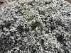 Astragalus monticolus, Gyangtse 4032m-Latse 4050m