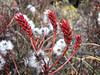 Salix spec. Djaksim Camp 4053m-Bahtang Glacier-Camp 4379m