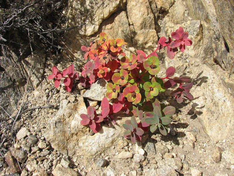 Euphorbia stracheyi, River Camp 4941m-Kharta Camp 3710m