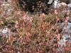 Persicaria vacciniifolia, (syn. Polygonum vacciniifolium, syn. Bistorta vacciniifolia), Shao La Basic Camp 4253m - Shao La 4904m-Djaksim Camp 4053m