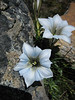 Gentiana ornata, light coloured form, Kharta Camp 3710m-Shao La Basic Camp 4662m