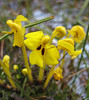 Pedicularis longiflora var. tubiformis, Latse 4050m-Kharta Camp 3710m