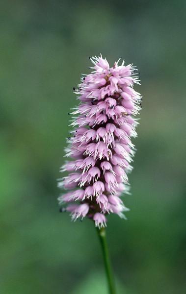 Bistorta macrophylla, syn. Polygonum macrophyllum