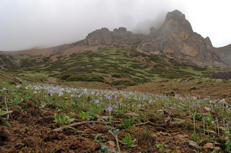 Primula zambalensis (Bai Ma Shan 4400m. Dechen, Yunnan)