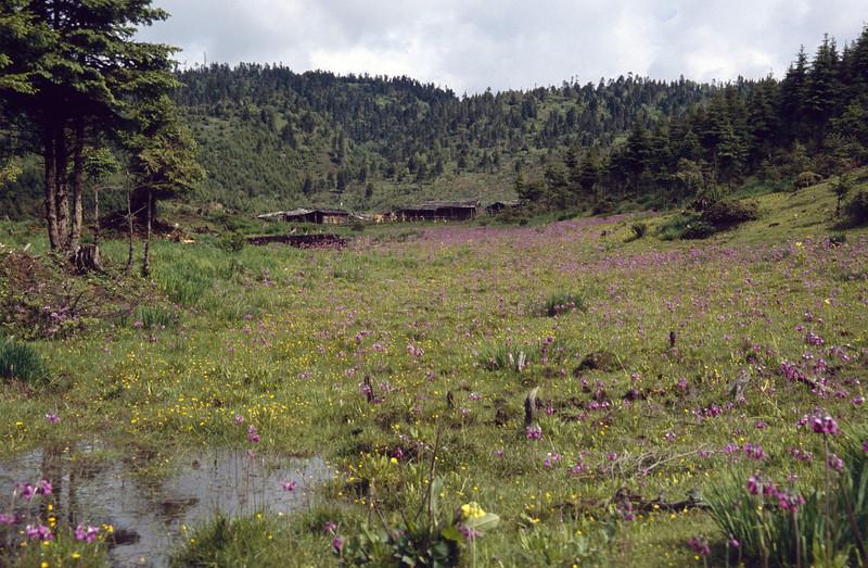 Primula sikkimensis and P. secundiflora (wet habitat near Zhongdian, Yunnan)