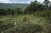 Roscoea cautleyoides (Yulong Xue Shan pas 2860m)