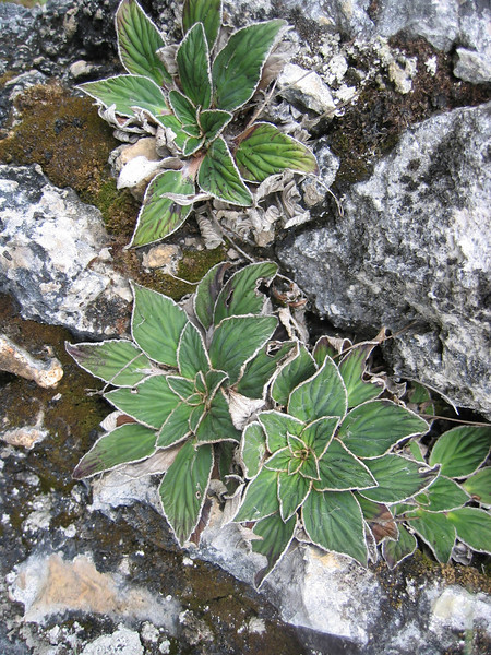 Corallodiscus cf. kingianus (Zhongdian, Yunnan)