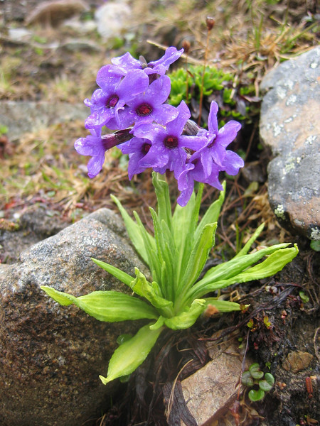 Primula chionantha ssp. sinoplantaginea (Bay Ma Shan 4800m.)