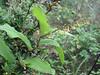 Smilacina henryi (Gang Ho Ba 2880m.Yunnan)